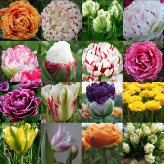 Tulpės.  Užsakymai nuo rugpjūčio mėn.