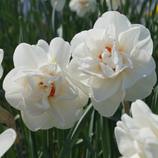 Narcizai, narcizų svogūnėliai